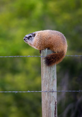 Yellow Bellied Marmot on a Fencepost