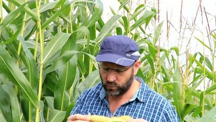 Mann im maisfeld ißt maiskolben