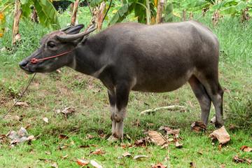 Thai buffalo on the farm in agriculture