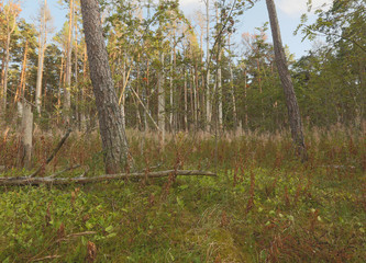 Untouched pine forest, important habitat for many animals