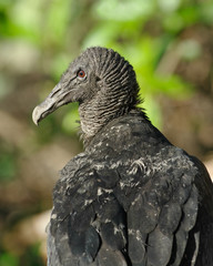 Portrait of a (muddy) Black Vulture (Coragyps atratus brasiliens