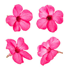 Red desert rose flower set isolated