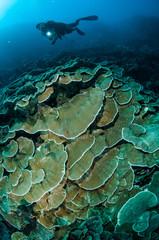 hard rice coral Montipora capitata in Gorontalo underwater