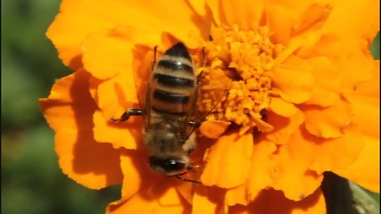 Bee on flower carnation