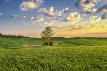 Krajobraz wiejski, młode zboże