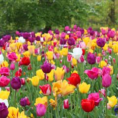 Amsterdam - Tulipes au Vondelpark
