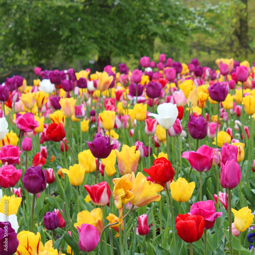 Staande foto Amsterdam Amsterdam - Tulipes au Vondelpark