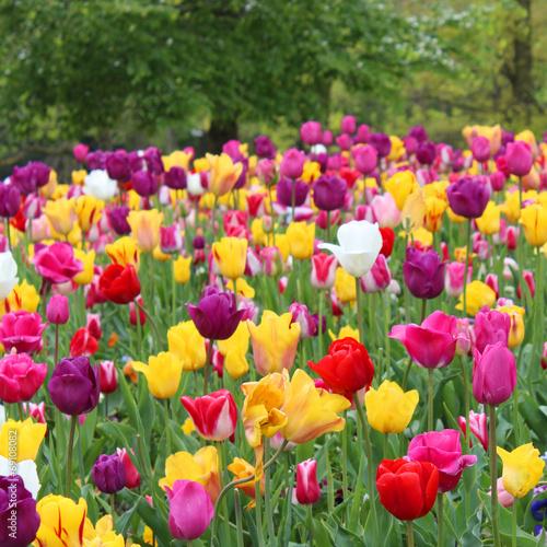 Spoed canvasdoek 2cm dik Amsterdam Amsterdam - Tulipes au Vondelpark