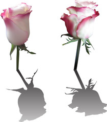 two light roses with shadows