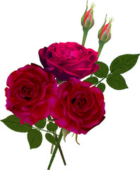 dark red rose flower and two buds isolated on white