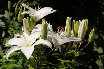 Weiße Lilien im grellen Sonnenlicht