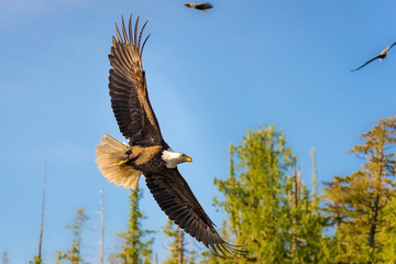 North American Bald Eagle in mid flight, hunting
