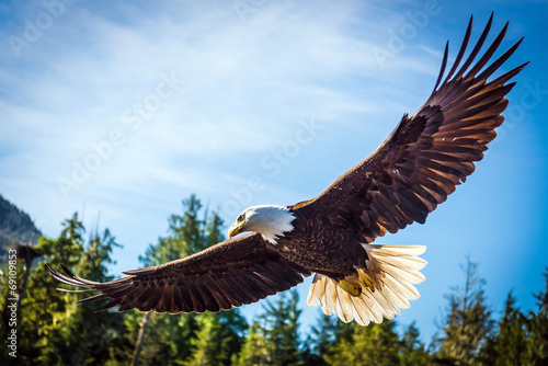 North American Bald Eagle in mid flight, on the hunt - 69109853