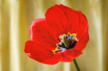 Bright red tulip against yellow silk