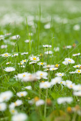 Meadow full of daisies