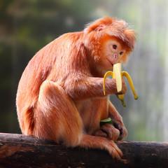 The Javan langur (Trachypithecus auratus) eating ripe banana.