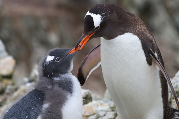 female Gentoo penguins that feeds moulting chick