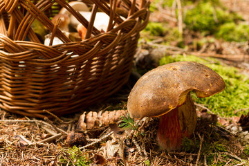 Mushroom with basket in the forest