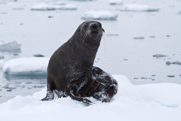 wet fur seal that came out to the ice floe on a cloudy day