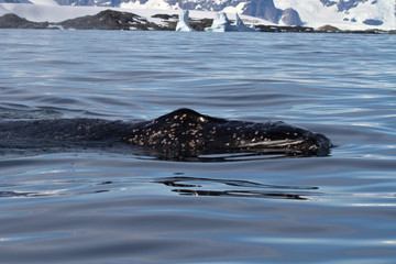 young humpback whale floating in the waters of the Antarctic sum