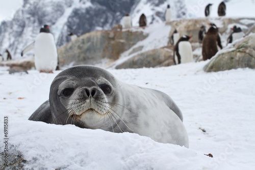 Spoed canvasdoek 2cm dik Antarctica Weddell seal which looks out over the snowy hills