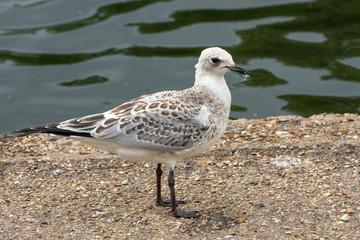 Juvenile black headed gull standing