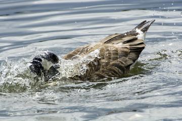 Canada goose washing