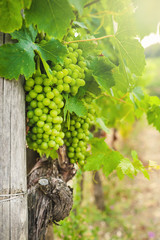 Beautiful vineyards in Chianti, Italy
