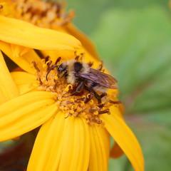 Пчела на желтых цветах