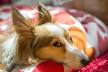 Cute sheltie is resting and looks directly in the camera