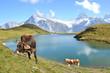 Cows in an Alpine meadow. Jungfrau region, Switzerland