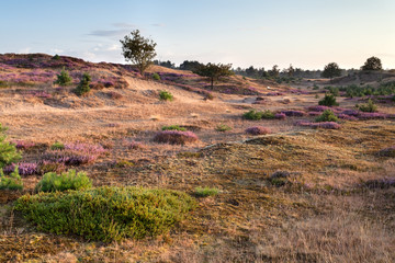 morning on sand dunes with flowering heather