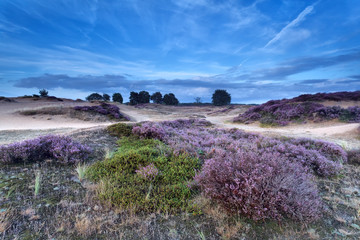 heather flowering on sand dunes