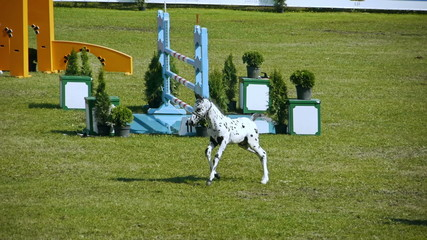 HD - Show jumping. Horse jumping obstacles