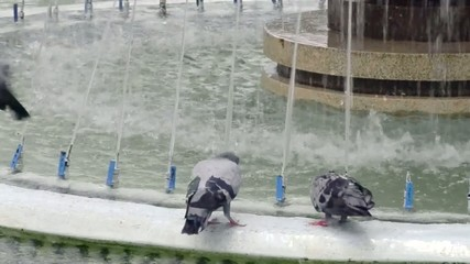 flock of pigeons take a bath in fountain in city