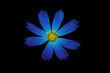 Постер, плакат: Синий цветок на черном фоне