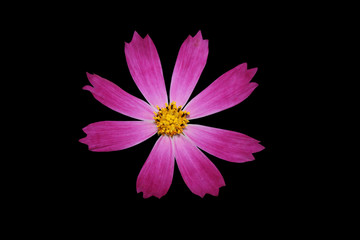 Розовый цветок на черном фоне