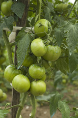 Some green tomatoes in the plant