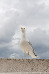 seagull in the city, gray sky