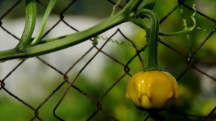 Ornamental pumpkins growing on the fence