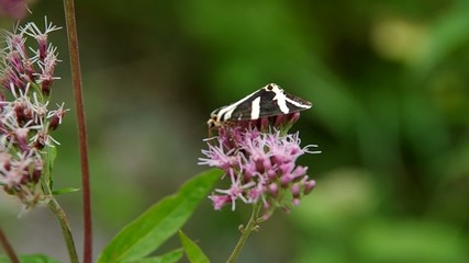 Jersey Tiger  butterfly, Euplagia quadripunctaria