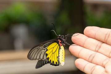 Common Golden Bird-wing butterfly on hand