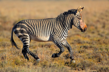Cape Mountain Zebra running