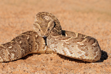 Defensive puff adder, Kalahari desert