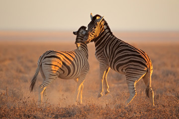 Fighting plains zebras, Etosha National Park