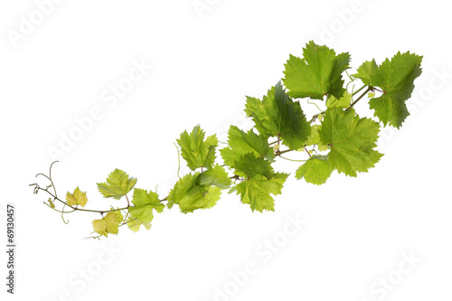 Tuinposter Bomen Vine leaves isolated on white