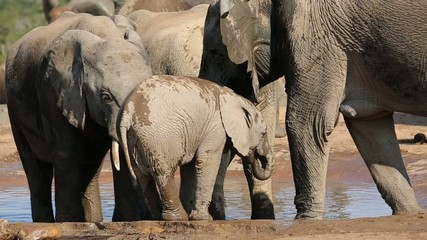 A baby African elephant and cows drinking water