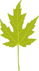 Green leaf of silver maple