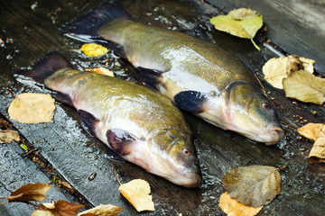 Fish tench