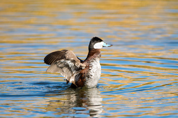 Ruddy Duck Displaying